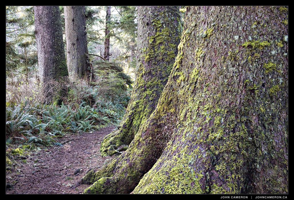 Sitka Spruce, Ecola State Park