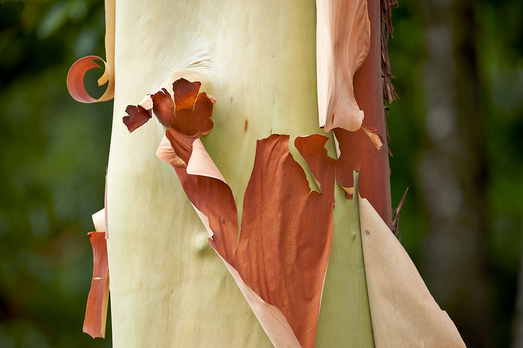 Arbutus bark peeling in the first heat of summer