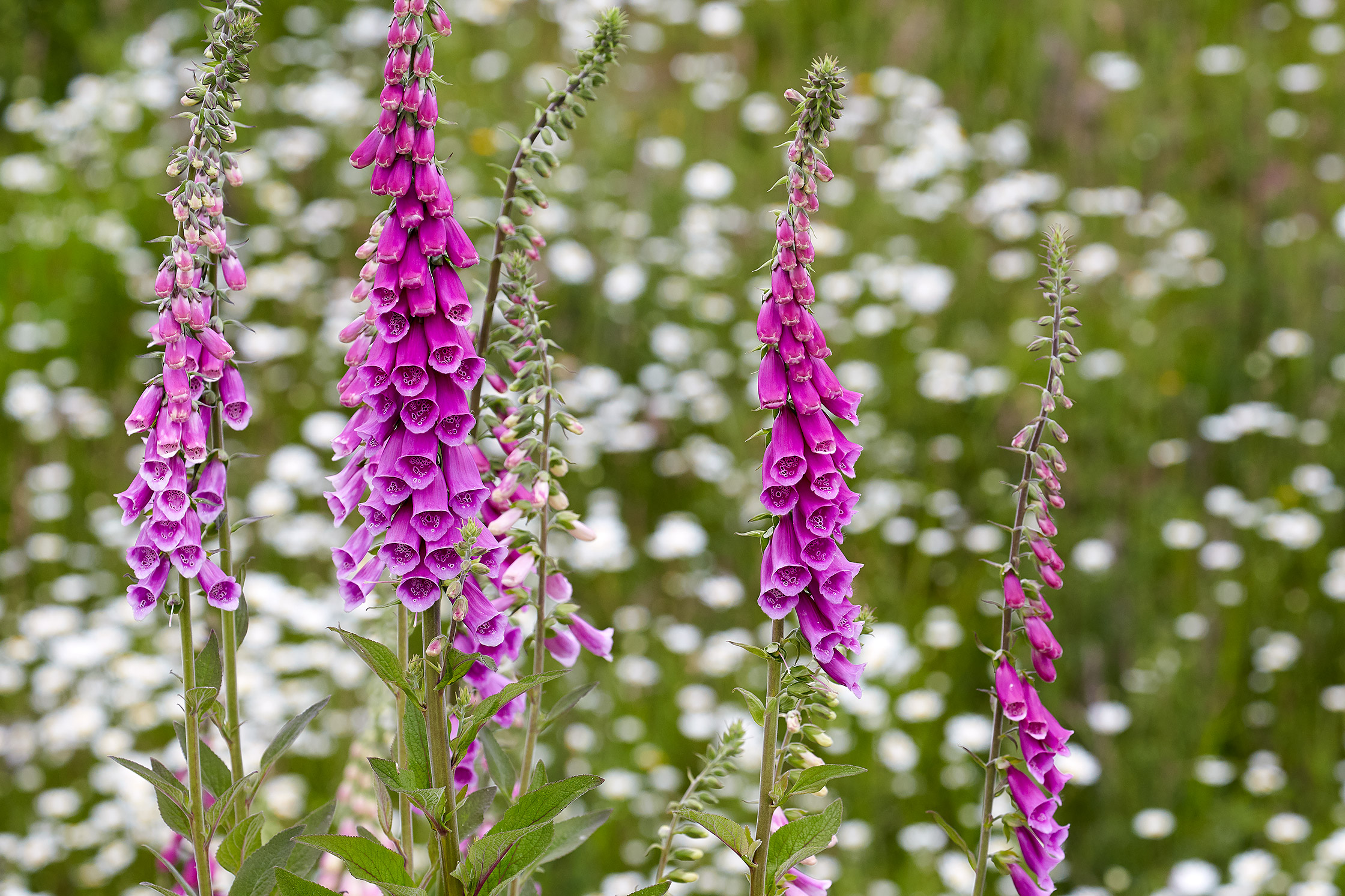 Foxgloves and Daisies, a Fresh Start