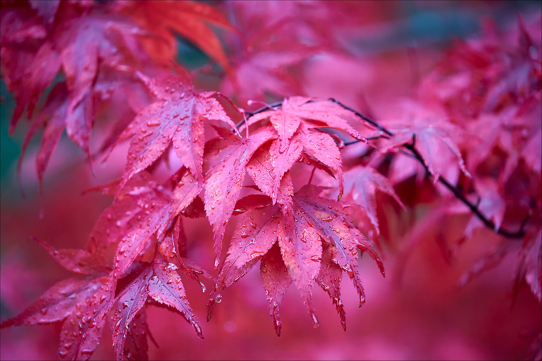 Red Maple Leaves in the Rain ©johncameron.ca