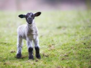 Lamb ©johncameron.ca