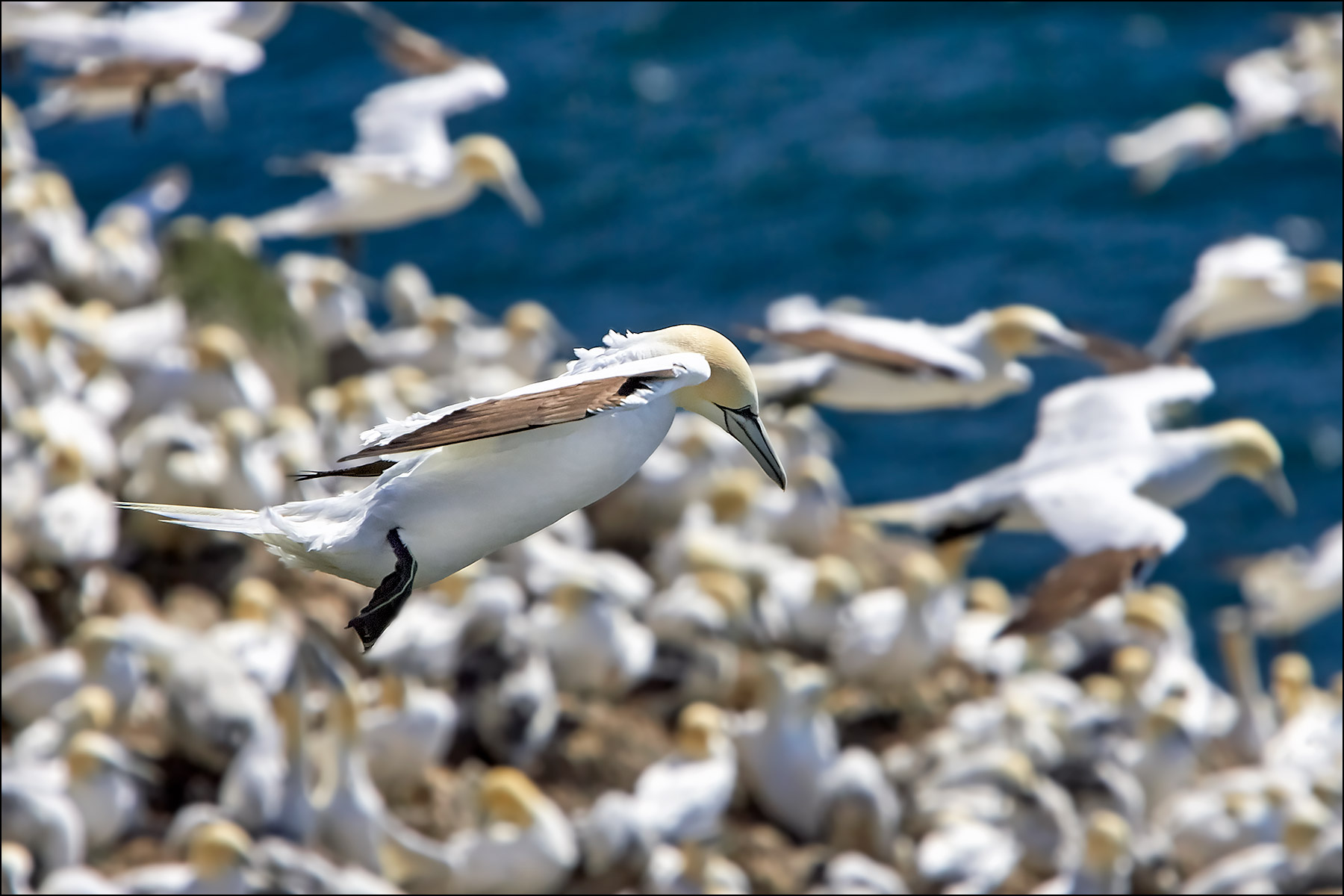 Gannet, Cape St. Mary's Ecological Reserve ©johncameron.ca