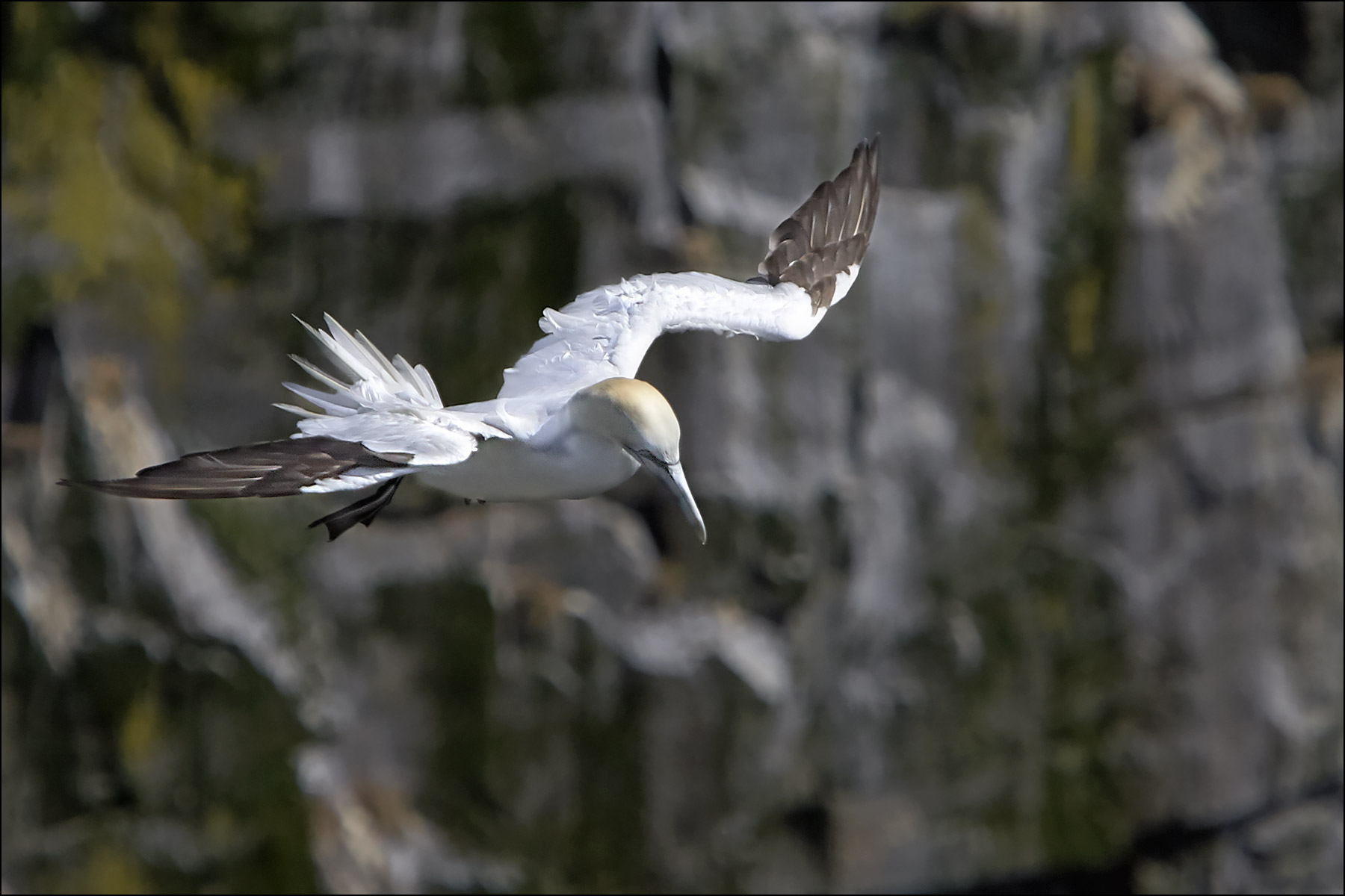 Northern Gannet, Cape St. Mary's Ecological Reserve ©johncameron.ca